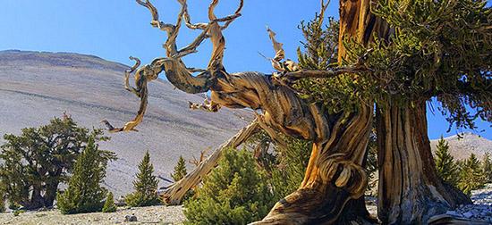 Những cây Bristlecone lớn chậm, chịu nhiều ảnh hưởng của gió mạnh, nên có hình thù khá kỳ lạ (Ảnh: Kcet.org)