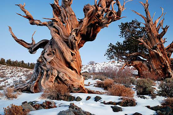 Cây thông Bristlecone trong băng tuyết (Ảnh qua: Tree Hugger)