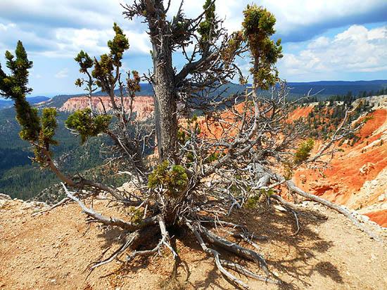 Một cây Bristlecone tại công viên quốc gia Bryce, Mỹ (Ảnh: Maximowiczsa, Wikimedia)