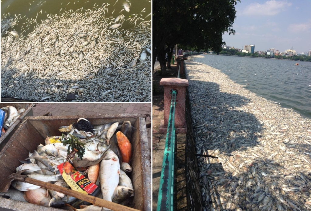 Khoảng 200 tấn cá chết nổi trắng tại Hồ Tây (Hà Nội). (Ảnh tổng hợp/Facebook)