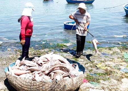 Người dân thu dọn xác cá bớp chết nổi trên vịnh Cam Ranh. (Ảnh: baokhanhhoa.com.vn)