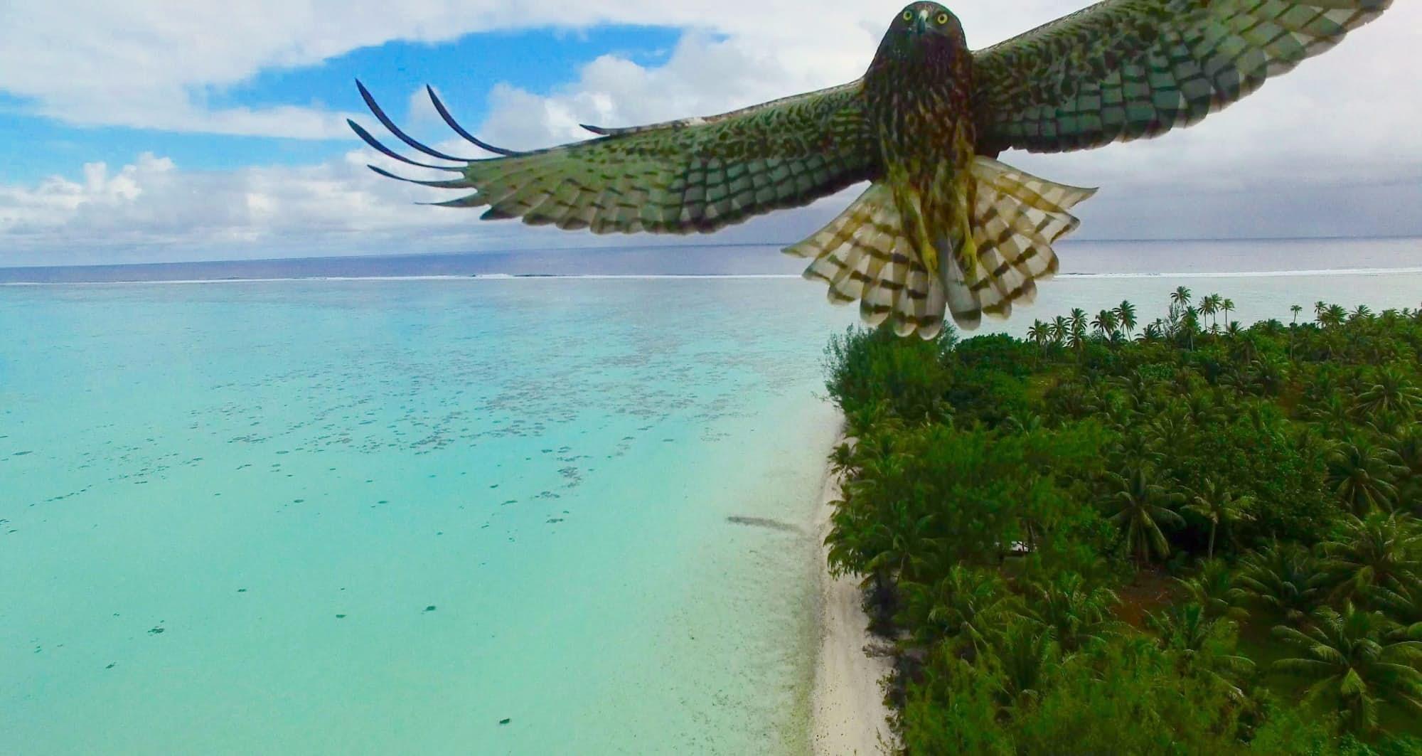 Một chú chim lại gần để xem xét máy bay drone ở Polynesia (ảnh: Actua Drone)