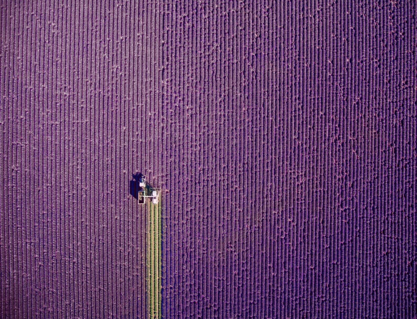 Cánh đồng lavender của Pháp (ảnh: jcourtial))