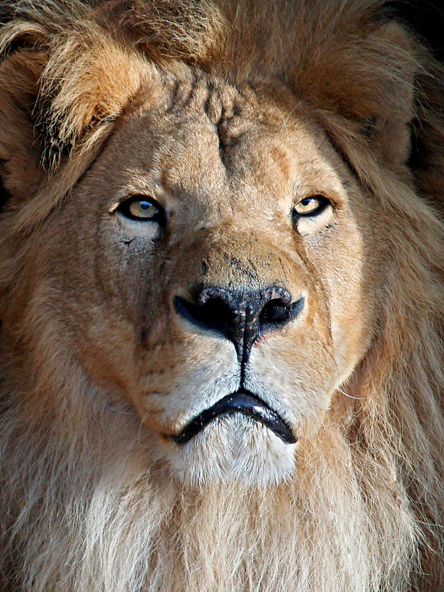 lion-portrait-57dfc6e176f31__880