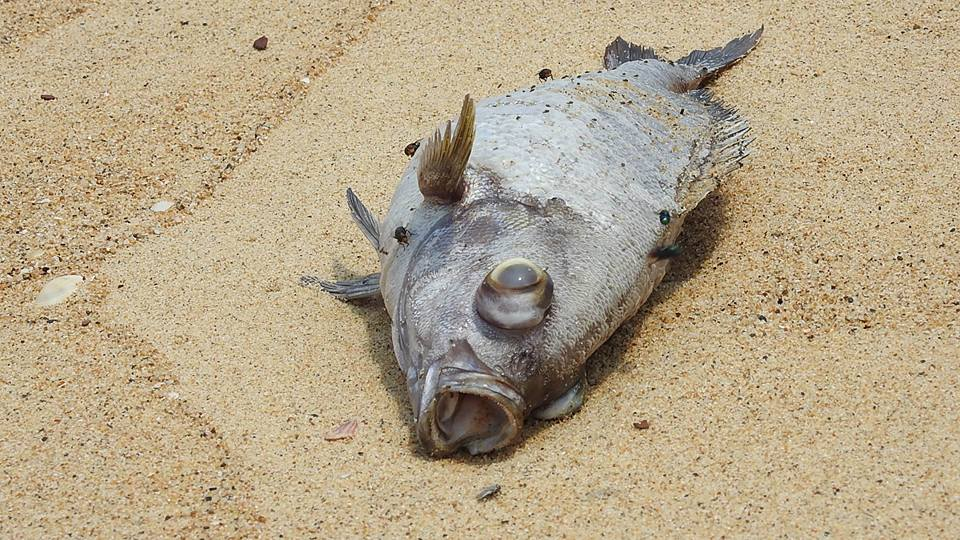 Ước tính 100 tấn cá chết dạt vào bờ suốt dọc 4 tỉnh từ Hà Tĩnh, Quảng Bình, Quảng Trị, Thừa Thiên-Huế. (Ảnh: FB Dương Phong)
