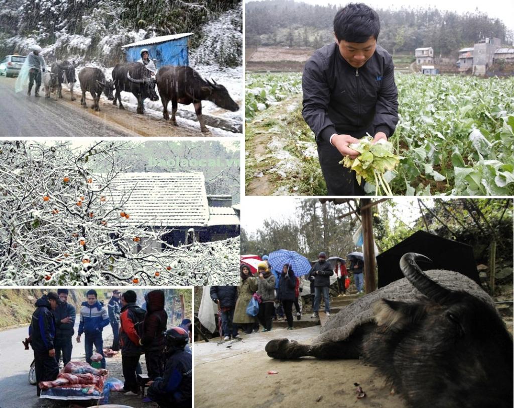 Tại Lào Cai, rét đậm và mưa tuyết khiến người dân thiệt hại khoảng 32 tỷ đồng. (Ảnh tổng hợp/baolaocai.vn)