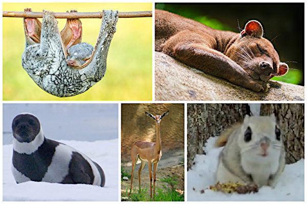(Từ bên trái theo chiều kim đồng hồ) Vượn cáo bay, lửng chó đuôi dài Falkland, sóc bay Nhật, linh dương Gazelle châu Phi, hải cẩu ruy băng.