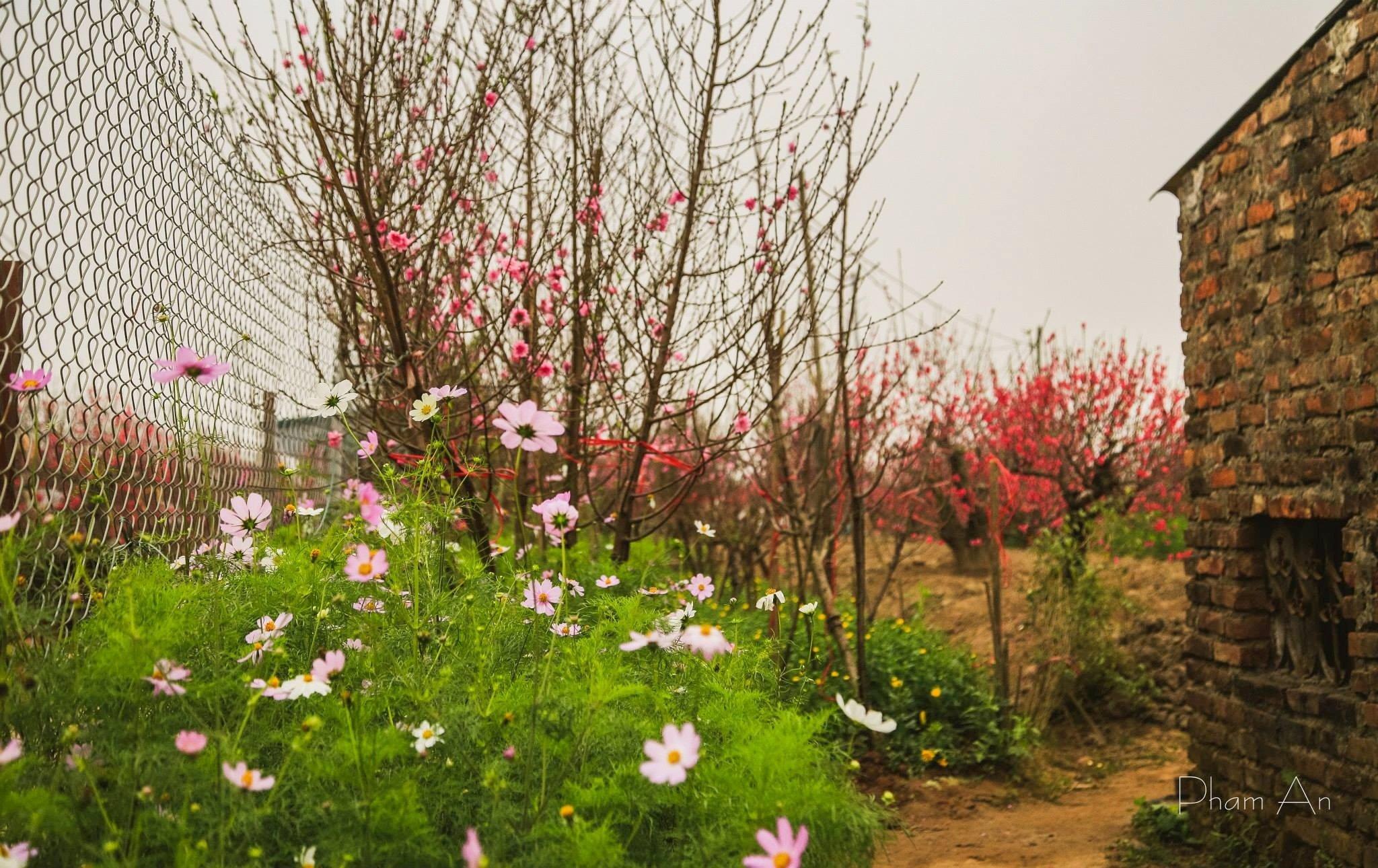 Người làng Nhật Tân cũng là những người đầu tiên tìm ra kỹ thuật ghép các giống đào với nhau, và giờ họ vẫn sống với cái nghề đó.