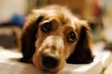 Cảm động chú chó khóc thương chủ nhân
