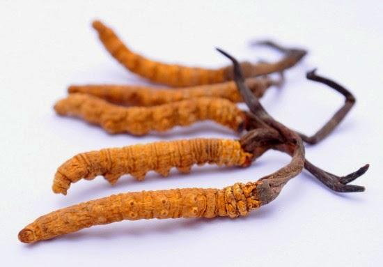 Đông trùng hạ thảo (ảnh: Internet)