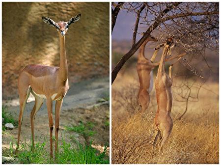Linh dương Gazelle Châu Phi