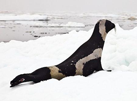 Hải cẩu ruy băng.