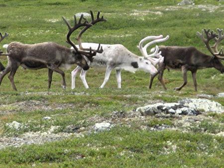Loài tuần lộc trắng hiếm này được xem là điềm lành. (ảnh:M.prinke / Flickr)