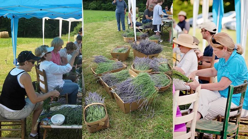 người dân tham gia thu hoạch hoa lavender