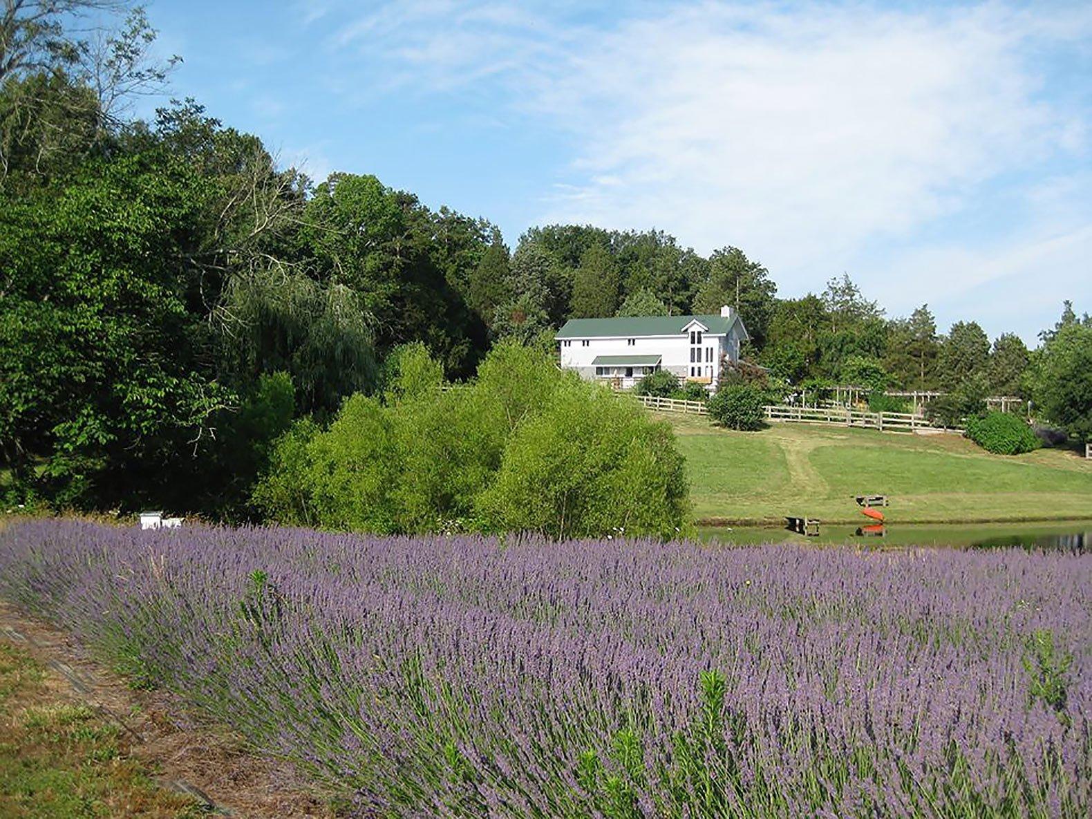 Bluebird-Hill-Farm-Lavender-Field