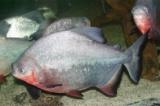 Trong 10 tấn cá phóng sinh xuống sông Hồng có loài ngoại lai xâm hại