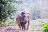 Voi rừng thuộc khu Bảo tồn Thiên nhiên-Văn hóa Đồng Nai. (Ảnh: Danh Sơn/dongnaireserve.org.vn)
