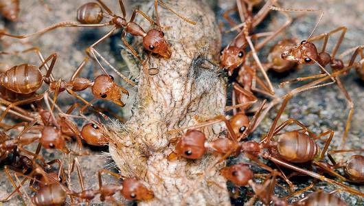 Kiến lính (army ant) khác với đa số các loài kiến, chúng không nhìn thấy và đi khắp nơi để kiếm thức ăn. (ảnh:Gio Diaz/Flickr)