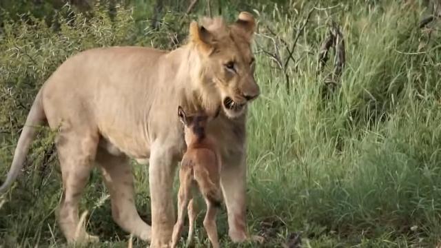 su tu bao ve linh duong 2, sư tử