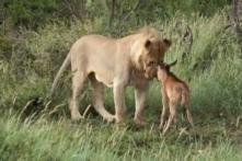 Sư tử bảo vệ linh dương con khỏi nanh vuốt đồng loại (Video)