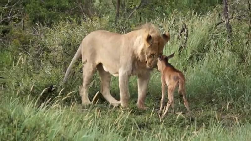 su tu bao ve linh duong, sư tử bảo vệ linh dương