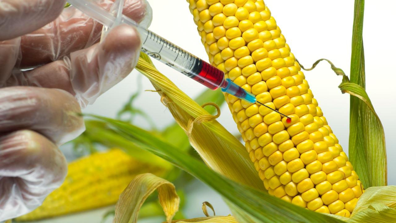 Vẫn có nhiều người lo lắng về tính an toàn của các giống bắp ngô biến đổi gen (ảnh qua livebip.com)