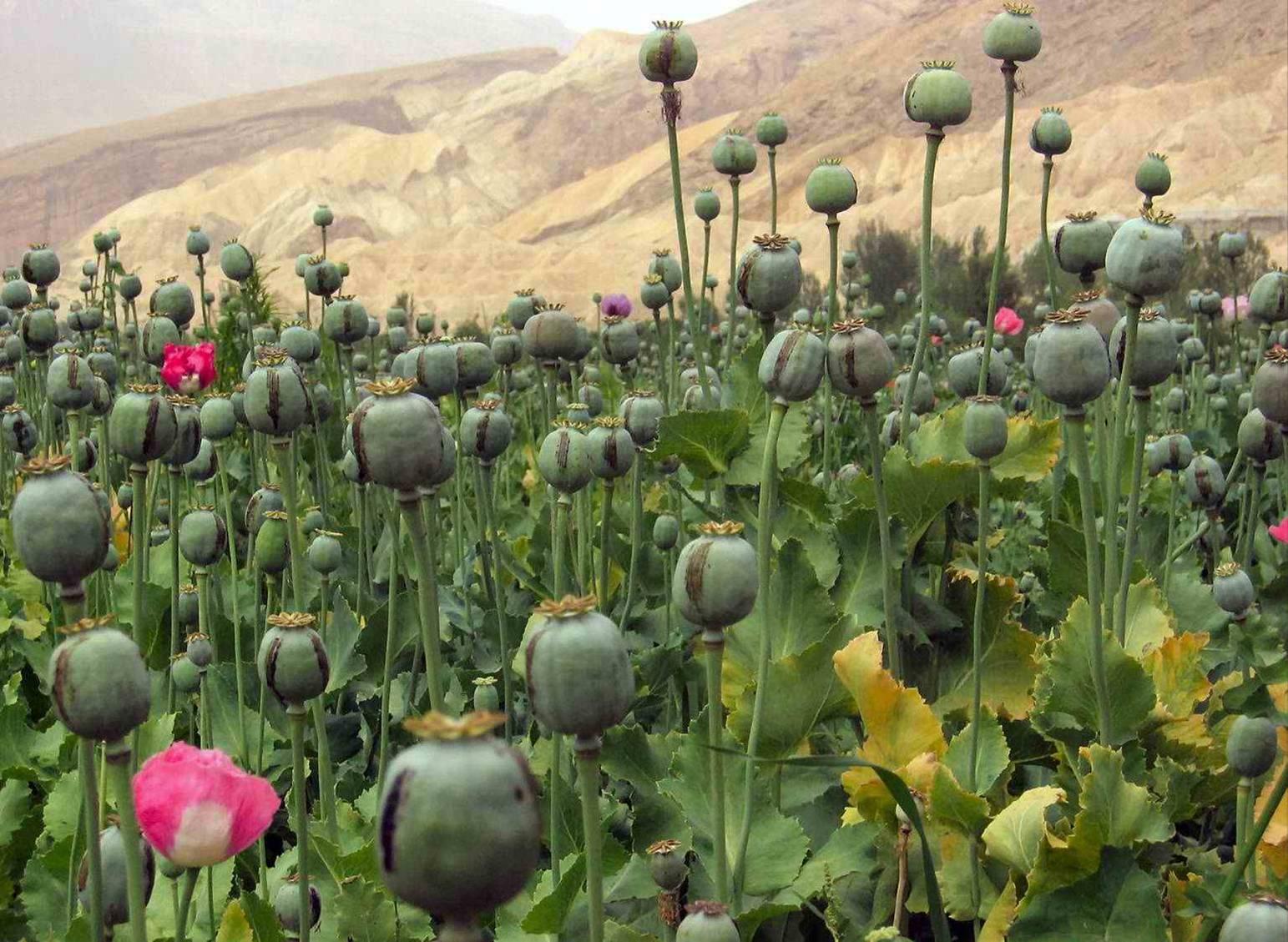 Cánh đồng thuốc phiên ở Afghanistan. (Ảnh: Wikipedia)