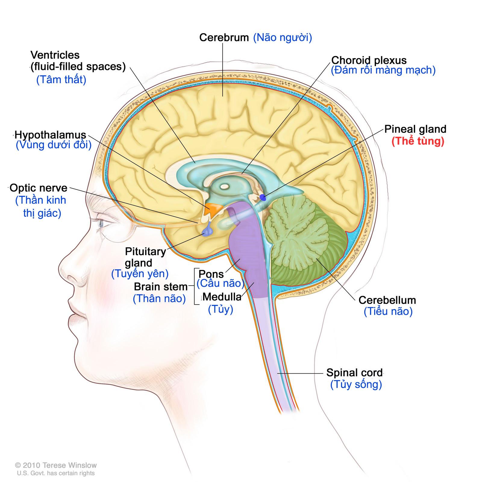 Thể tùng trong bộ não người (ảnh: Telese Winslow)
