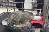 Thái Lan: Chú rùa Omsin qua đời vì nuốt phải 915 đồng xu cầu may của du khách