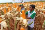 Bắp GMO đang được trồng tại Xuân Lộc, Đồng Nai (ảnh: tuoitre.vn)