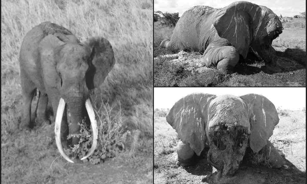 """Tổ chức Tsavo Trust thông báo trên Facebook: """"Với nỗi đau buồn to lớn, chúng tôi thông báo về cái chết của Satao, một trong những con voi ngà lớn mang tính biểu tượng và được yêu quý tại khu bảo tồn Tsavo… Tsavo và Kenya sẽ không còn được nhìn ngắm sự hiện diện uy nghi của nó."""" (ảnh: Tsavo Trust/Facebook)"""
