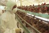 Tiêu hủy hơn 900 con gà nhiễm H5N1 tại Hậu Giang