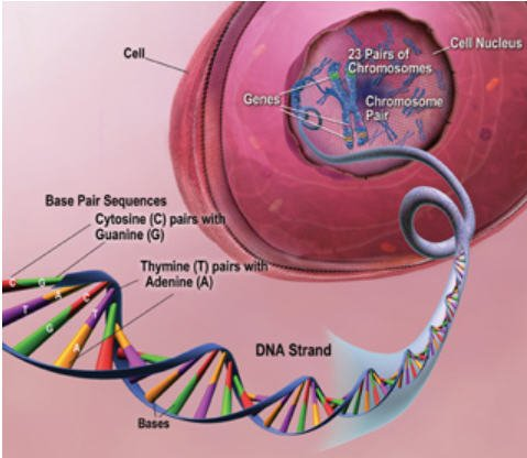 Một minh họa ví dụ cấu trúc của DNA trong nhân của tế bào (ảnh: Học viện quốc gia về người cao tuổi, Mỹ)