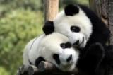 Lý do gấu trúc là một trong những loài động vật đáng yêu nhất thế giới (Video)