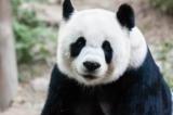 Vì sao loài gấu trúc có màu trắng và đen?