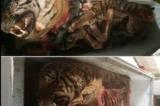 Phát hiện 5 cá thể hổ vằn bị lấy hết nội tạng tại Nghệ An