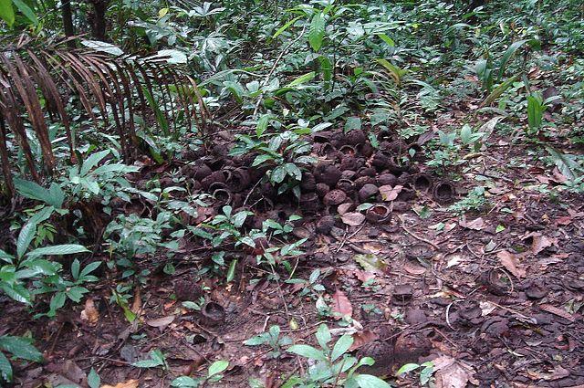 Quả hạnh Brazil rải rác dưới các gốc cây trong rừng Amazon. Những cây này rất phổ biến tại Amazon hiện nay vì con người đã bắt đầu trồng chúng từ hơn 8.000 năm trước. (ảnh:Lior Golgner/Wiki)