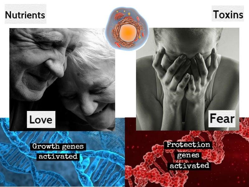 Khi gặp tình yêu thương, các gen tăng trưởng sẽ được kích hoạt (minh họa bằng DNA màu xanh dương), khi gặp sợ hãi, các gen bảo vệ sẽ được kích hoạt (minh họa bằng DNA màu đỏ) (ảnh: shutterstock)