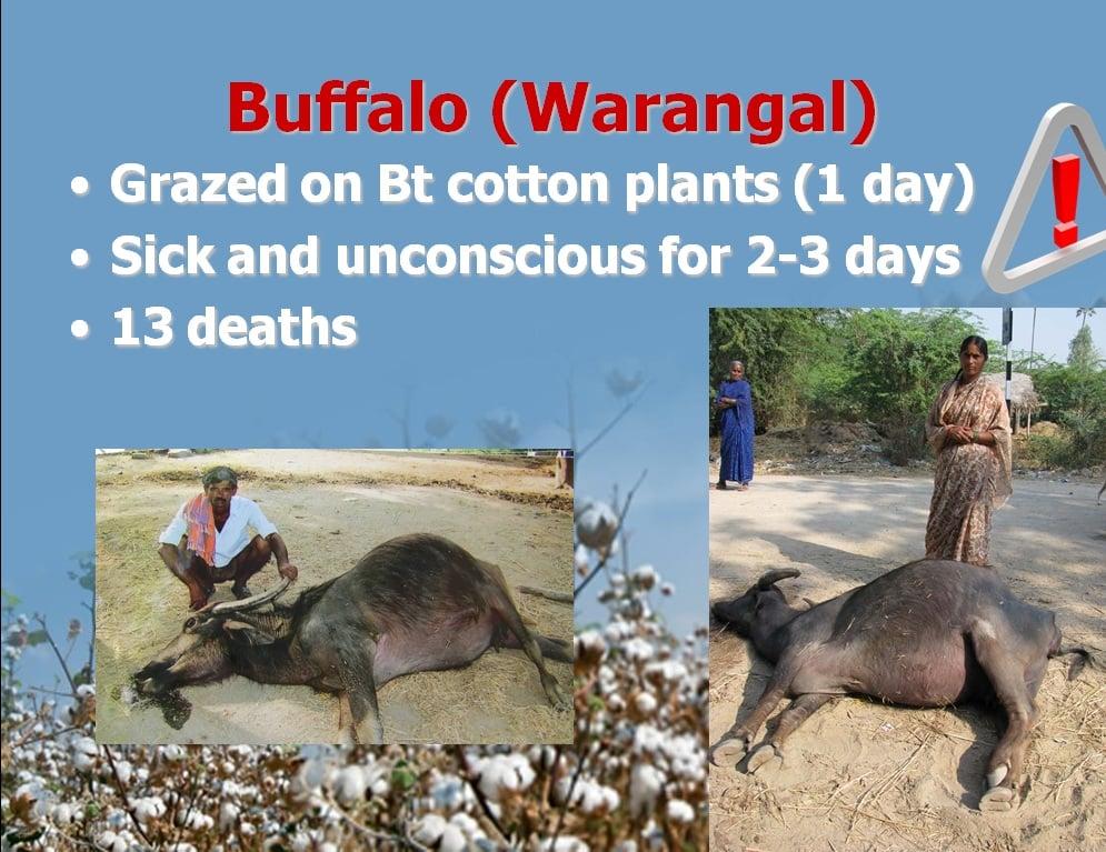 Trâu của người nông dân ở Warangal, Ấn Độ chết sau khi ăn cây bông được trồng từ giống biến đổi gen Bt của Monsanto (nguồn:responsibletechnology.org)
