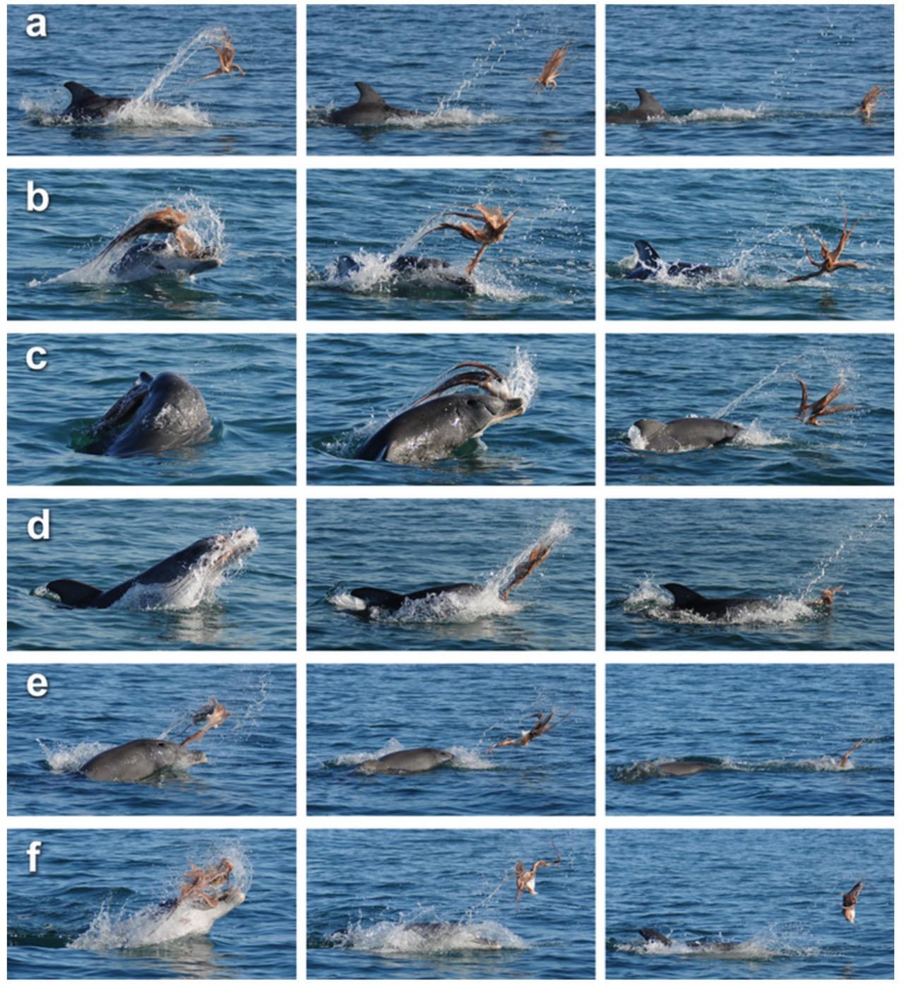 Các tư thế chiến đấu của cá heo và bạch tuộc (ảnh: Marine Mammal Science)