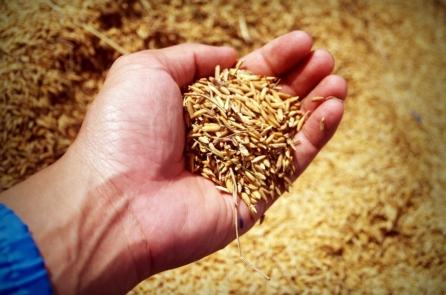 Hạt gạo 4.000 năm: Danh tiếng và mất mát