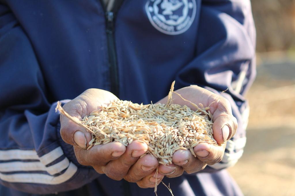 gạo cứu đói giáp hạt