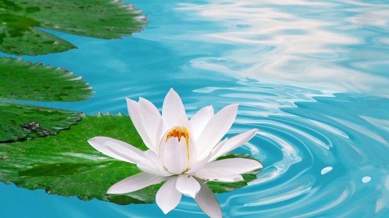 người tốt, lương thiện, hoa sen trắng