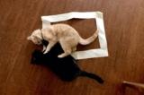 Vì sao mèo sẽ ngồi vào nếu thấy một ô vuông trên nền nhà?