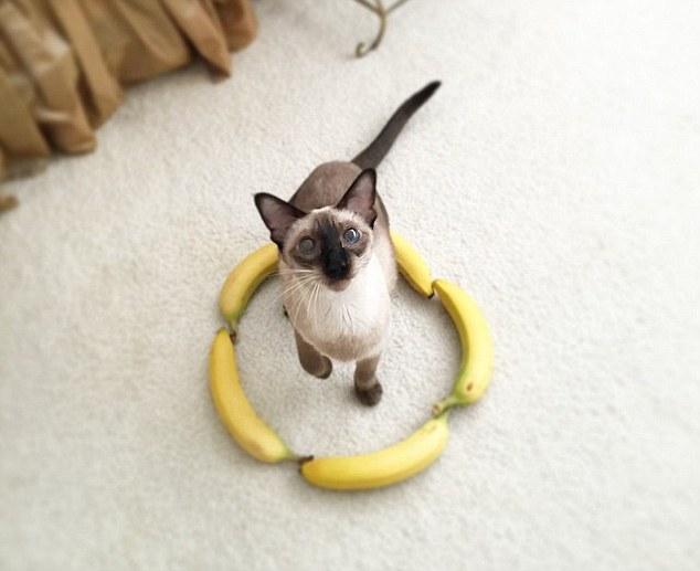 Hay thậm chí 1 vòng tròn bằng... chuối cũng rất thu hút các chú mèo (ảnh: Internet)
