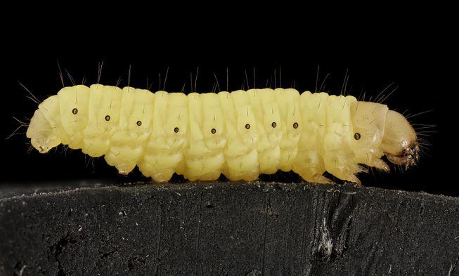 Tình cờ phát hiện khả năng ăn túi nilon của 1 loài sâu bướm phổ biến (ảnh: USGS Bee Inventory and Monitoring Lab/Flickr)