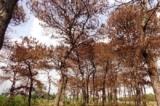 Gia Lai: 102 cây thông rừng phòng hộ chết bất thường nghi bị tiêm chất độc