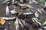 Cá, nghêu… chết trắng trên bờ biển Kiên Giang
