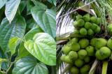 Trị bệnh gout bằng phương pháp tự nhiên với lá trầu và dừa xiêm
