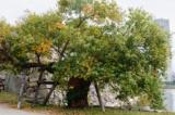 """Những cây """"Hibaku Jumoku"""" mạnh mẽ sống sót sau thảm họa bom nguyên tử Hiroshima"""